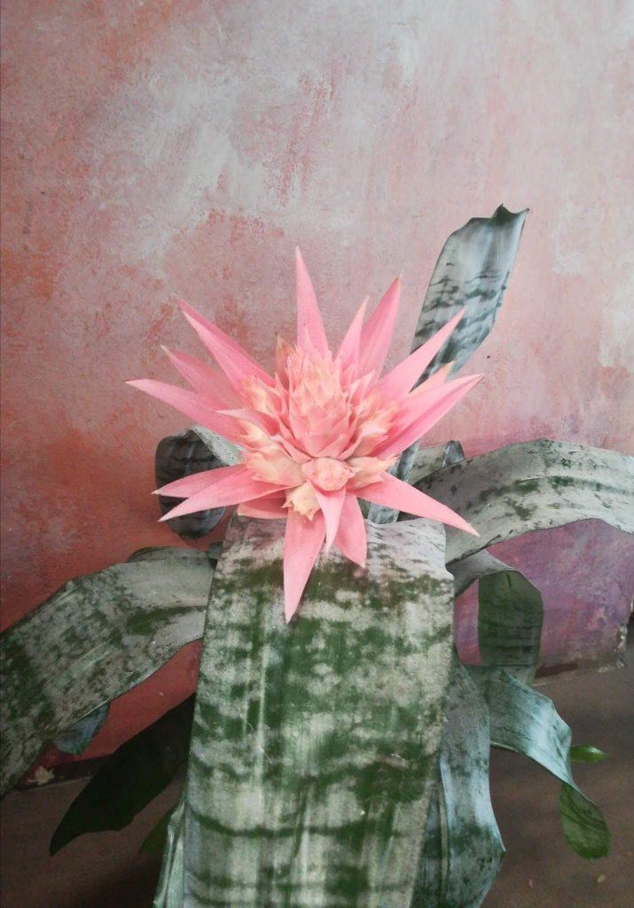 Piante da interno: fiore di acmea