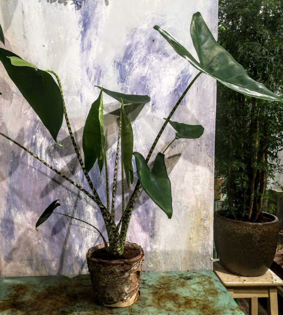 Piante da interno: alocasia zebrina (orecchie d'elefante)