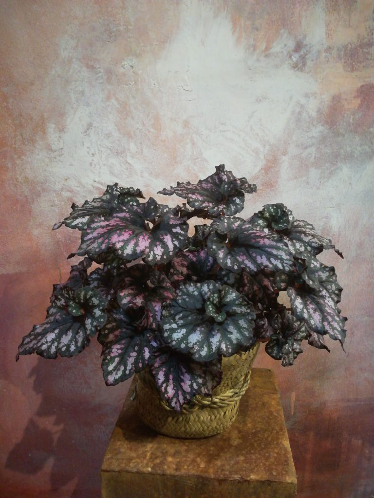 Piante da interno: begonia da foglia