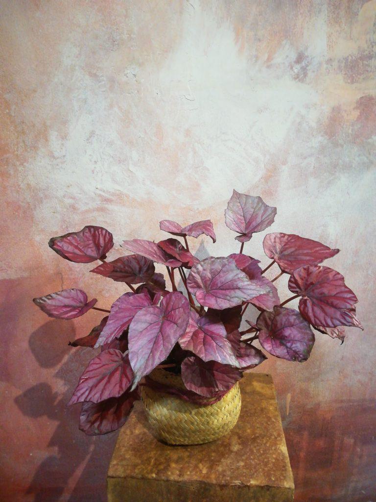 Piante da interno: begonia da foglia rossa