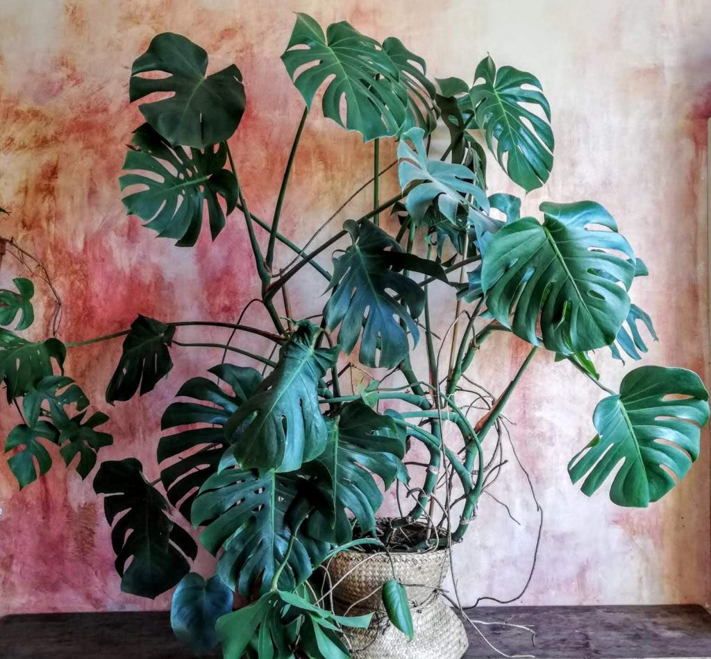 Piante da interno: Monstera