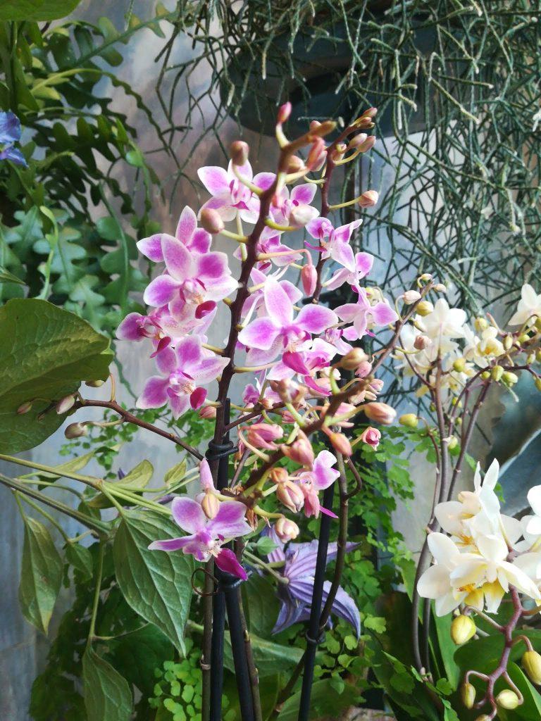 Piante da interno: Orchidea rosa