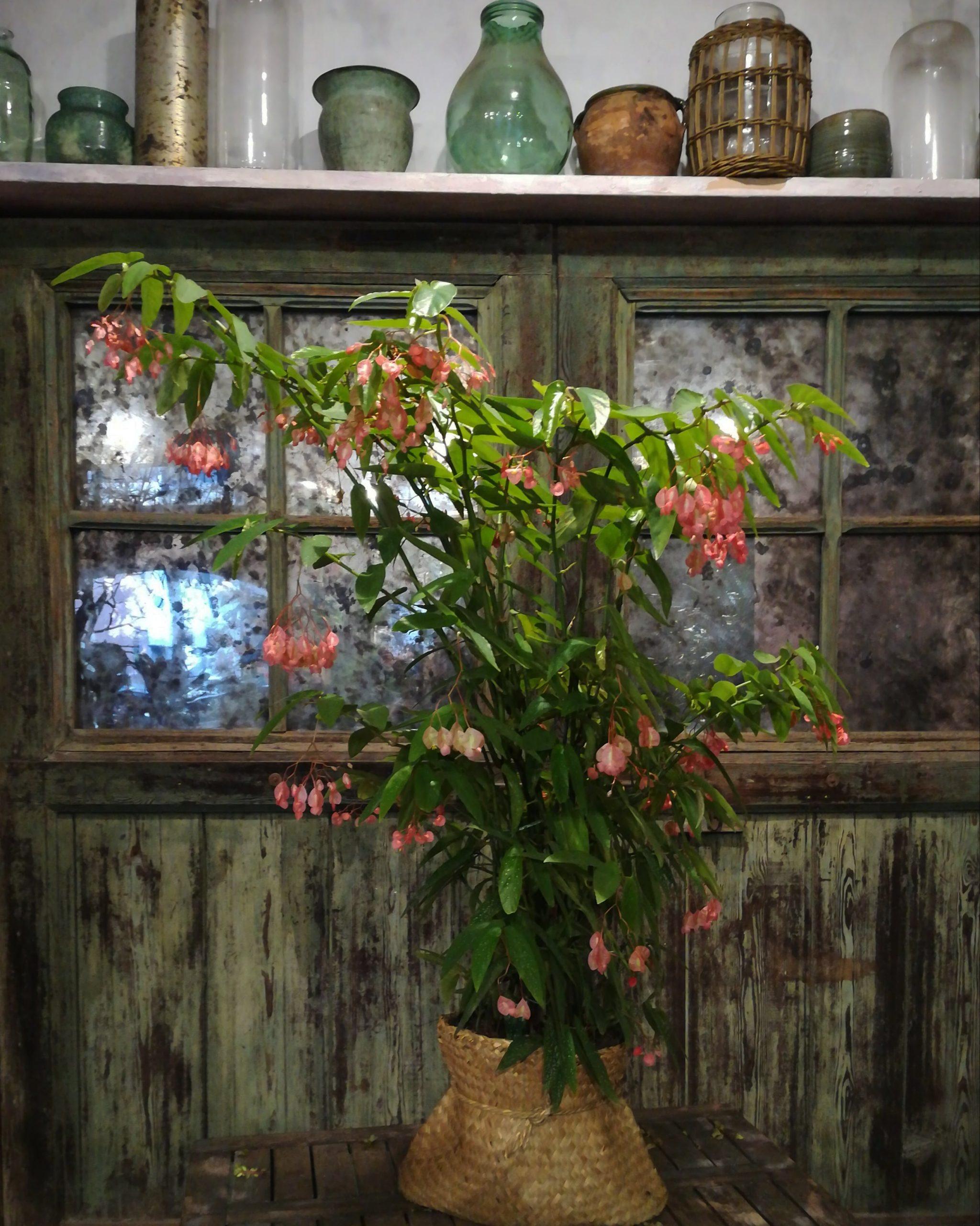 Piante da interno: begonia corallina