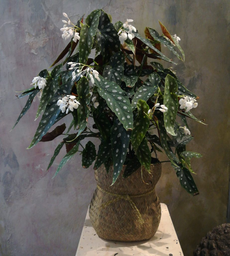 Piante da interno: begonia maculata