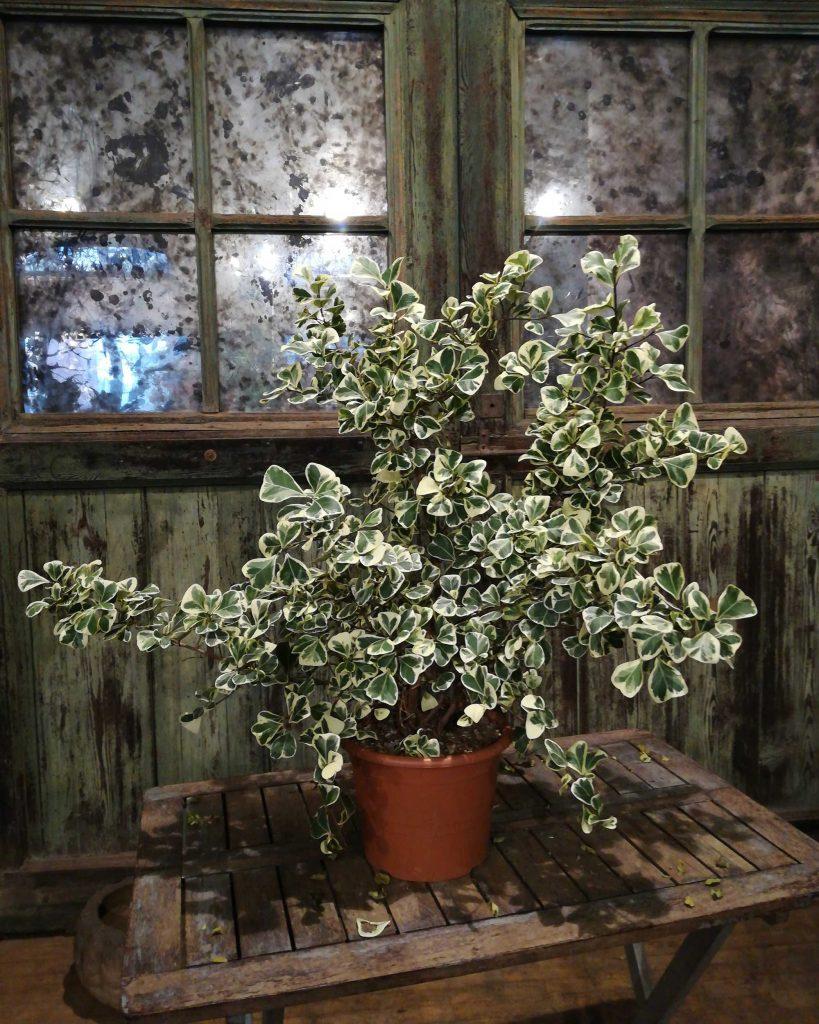 Piante da interno: ficus triangularis variegata