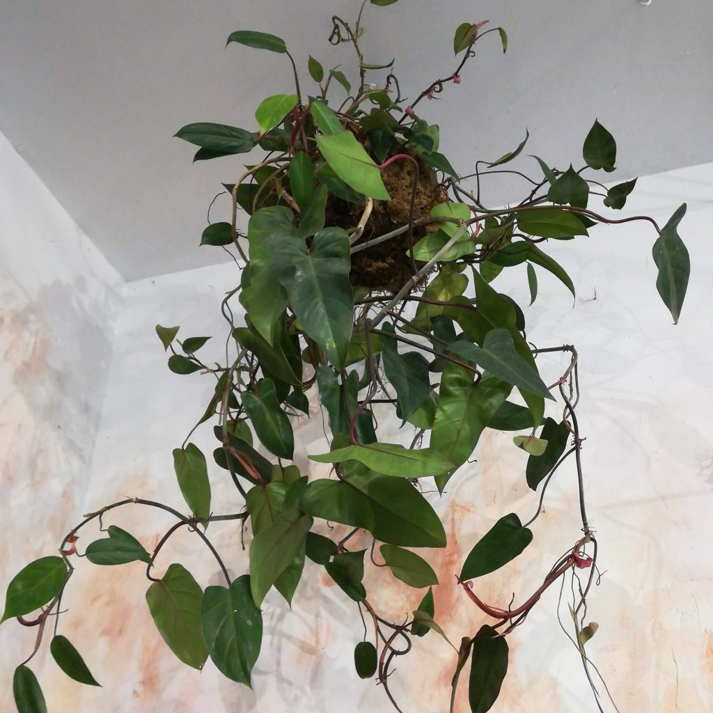 Piante da interno: filodendro cascante